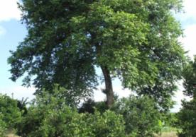 dinde tree