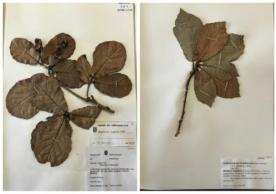herbarium samples